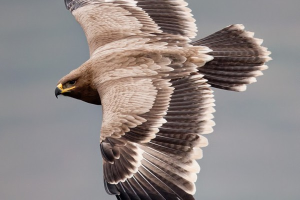Raptor East- West Autumn Migration Watch from Thoolakharka
